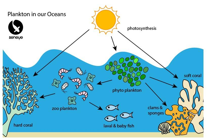 Plankton zoo plankton and phytoplankton cycles.jpg
