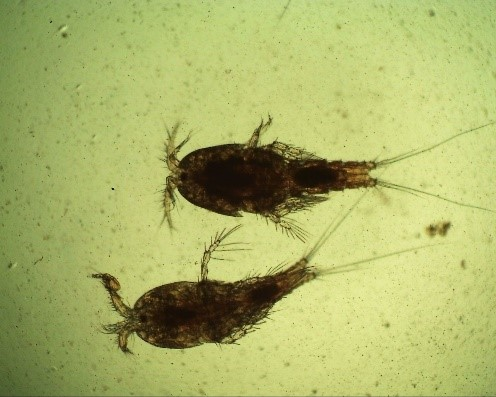 Copepods in aquarium water full of algae.jpg